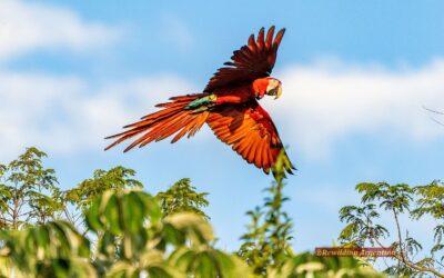 Liberan guacamayos rojos en Esteros del Iberá